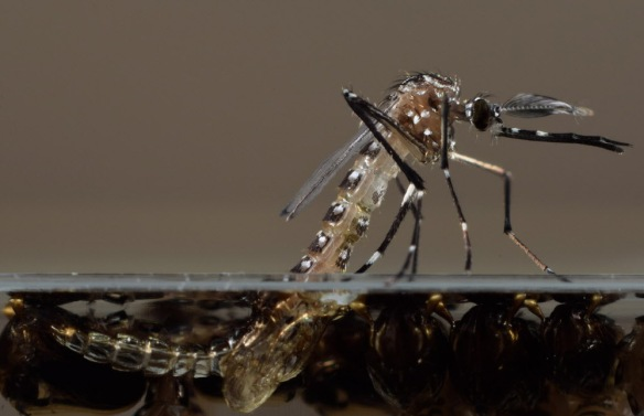 Oxitec's genetically modified Aedes aegypti mosquito